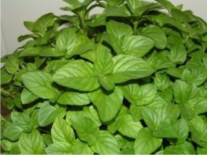 plante_medicinale-1